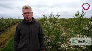 Szara pleśń   zwalczanie w uprawie borówki