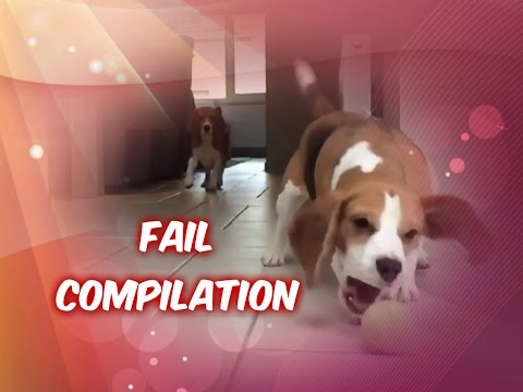 Funny Beagle Louie Fail Compilation