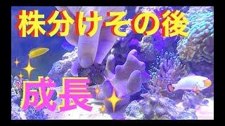 去年株分けしたスターポリプとマメスナの成長❗️海水魚水槽❗️my marin aquarium MOAMOAちゃんねる