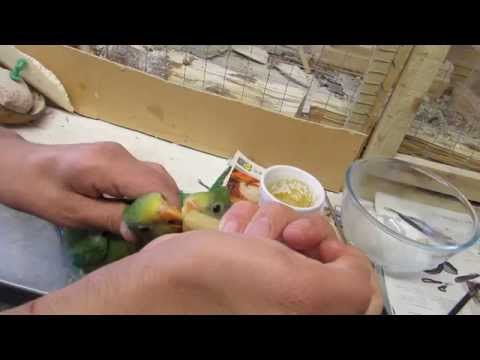 Superb parrot hand feeding