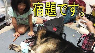 grandchild and #GermanShepherd #dog 大型犬ジャーマンシェパード犬 マ...