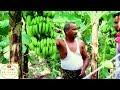 Banana Farming in India केले की खेती से किसान कमा रहे लाखों-रुपये का मुनाफा