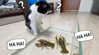 cat VS 4 crayfish. Who is the champion?
