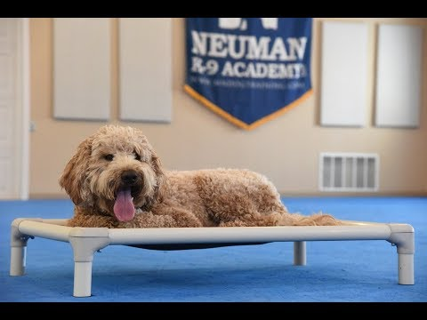 Winchester (Goldendoodle) Boot Camp Dog Training Video Demonstration