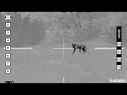 2 Simultaneous Shots Take Out 'Sheep Killer' on Coyote Hunt