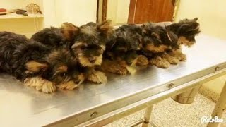 Australian Silky Terrier Puppies Funny Video
