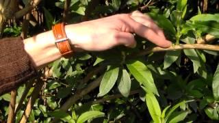 Vlinderstruik (Buddleja davidii) snoeien