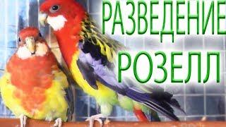 Разведение попугаев розелл НАЧАЛО повесила домик