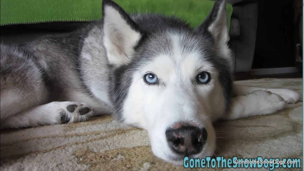 Adorable Siberian Husky Close Up Wordless Wednesday Youtube
