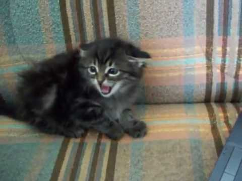Sinirli Yavru Kedi - Angry Kitten