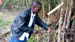 Bamboo wine kinga tribe tanzania