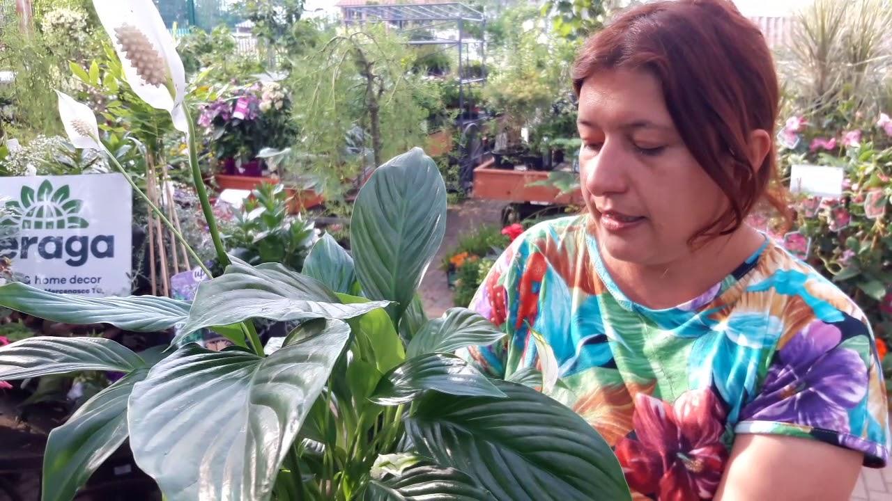 Ortensie Bianche Come Curarle spatifillo: consigli su cura e coltivazione