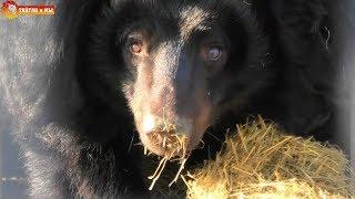Умка ест яблоки, Настя выгнала Юру, а Кнопа убирается в берлоге. Медведи Тайгана. Bears Taigan.