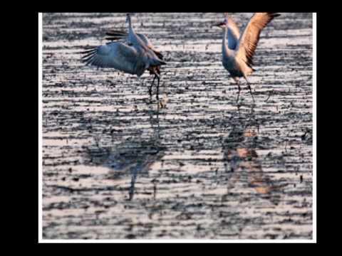 Sandhill Cranes Courtship Ritual