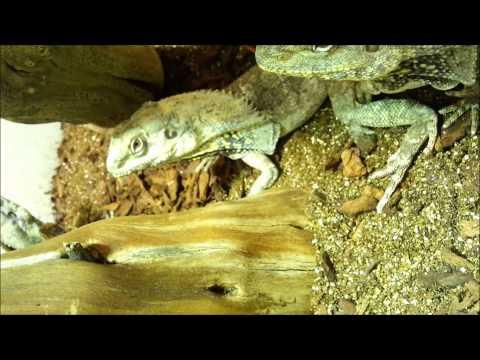 DEFENDERMITES: Hypoaspis (Sciarid Predators) Used For Frill Neck Lizard Dragons