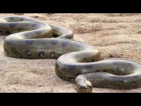 Piton dünyanın en büyük yılanı