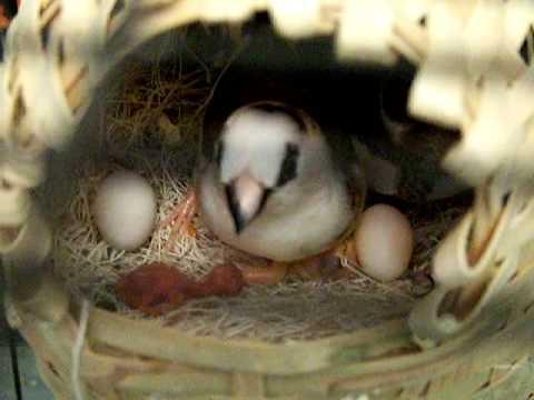 how to stop pet bird eggs hatching