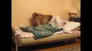 Лучшие приколы с животными март 2014, собака вместо будильника