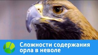 Сложности содержания орла в неволе | Живая Планета
