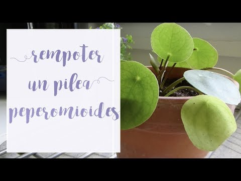 Comment rempoter un pilea peperomioides |Tuto jardinage