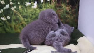 Британские котята в возрасте 1 месяц, Litter-I2