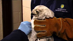 Snowy Owl Treated at Smithsonian's National Zoo