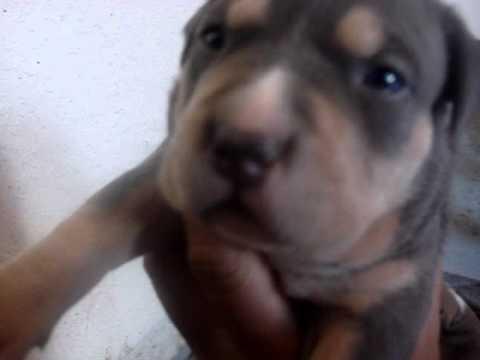 Tri Color Pitbull Puppies National Pitbull League Youtube