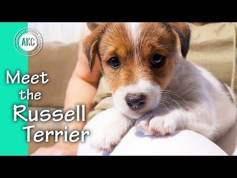 Meet the Russell Terrier