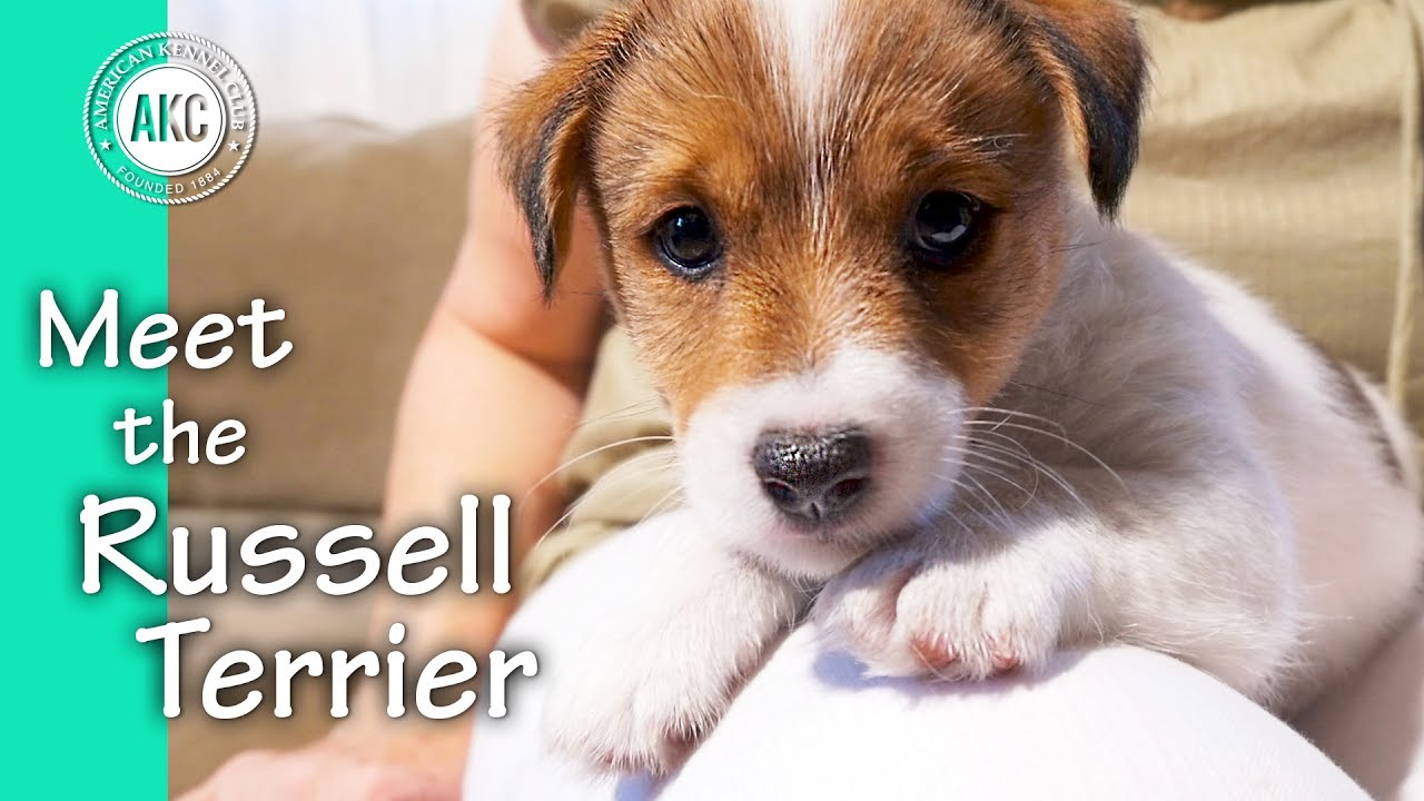 Meet the russell terrier youtube - Jack russel queue coupee ...