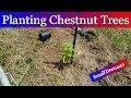 Planting Chestnut Trees