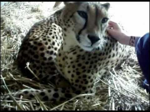 Meeting a Cheetah at Canberra Zoo