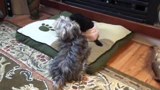 Yorkie Poo(chloe) And Crested Yorkie Maltese(kiki The Black Pup)