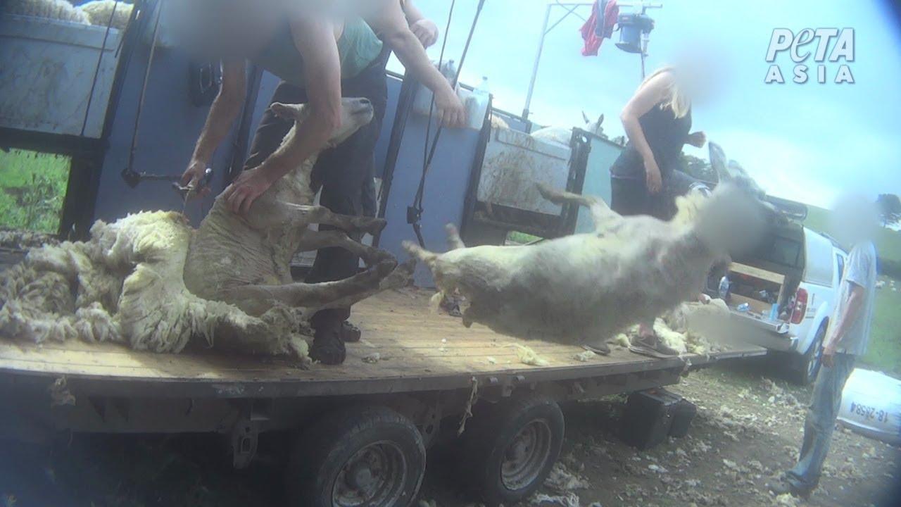 Des employés de l'industrie lainière filmés en train de frapper des moutons contre le sol