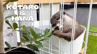 カワウソコタローとハナ 庭のオリーブさっそく食いちぎられる Otter Hana Chews on Olive Leaves