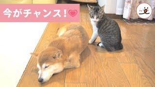 via YouTube@柴犬ひかりといちご☆猫ミルキー https://www.youtube.com/u...