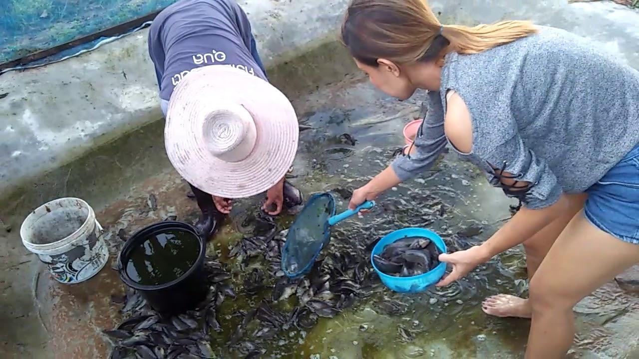 การเลี้ยงปลาหมอในบ่อซีเมนต์แบบบ้านๆสร้างรายได้ Ep.5