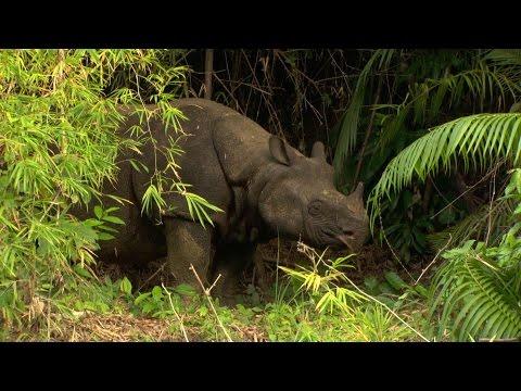 Javan Rhino (Rhinoceros sondaicus), Ujung Kulon, Java-Nashorn