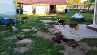 Аджина Аладжа и Анор   щенки играются