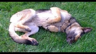German Shepherd Rescue Kansas City - 3-year Old Marley - Playing
