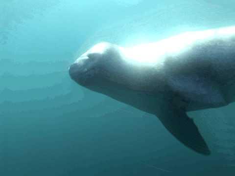 Leopard Seals - Antarctica 2008/09