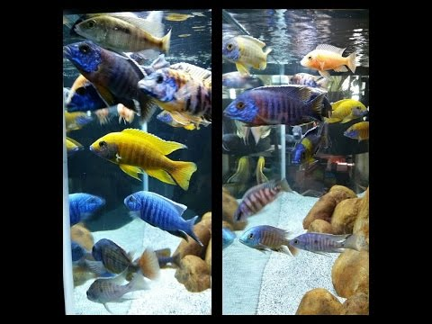 African Cichlid Peacocks and Haps Show Tank All Male