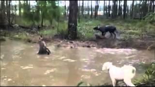 Чупакабра против собаки