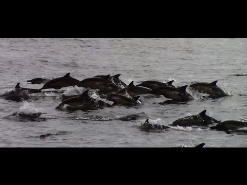 7.27.14 Humpback Whales & Long Beaked Common Dolphins