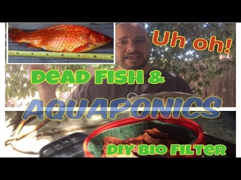 Uh Oh!! Dead Fish and DIY Bio Filter Solution?