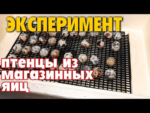 Перепелки из магазинных яиц  Возможно ли вывести ? Эксперимент