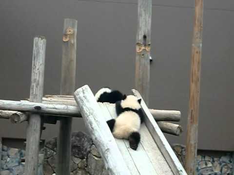 アドベンチャーワールドで可愛い双子のパンダ