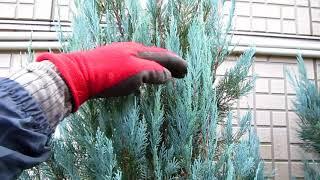 庭木の手入れ:171220コニファーの剪定③ブルーヘブンの頭下げ