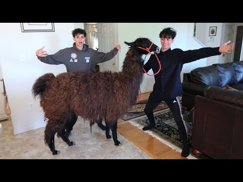 Thumbnail: LLAMA PRANK ON FAMILY!