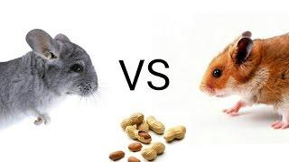 Хомяки vs шиншиллы: кто разгрызёт орех?