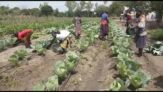 First harvest (cabbage) in Kangole (Napak District, Karamoja, Uganda)
